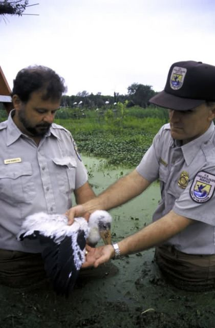 FWS Workers with Wood Stork Chick Picture