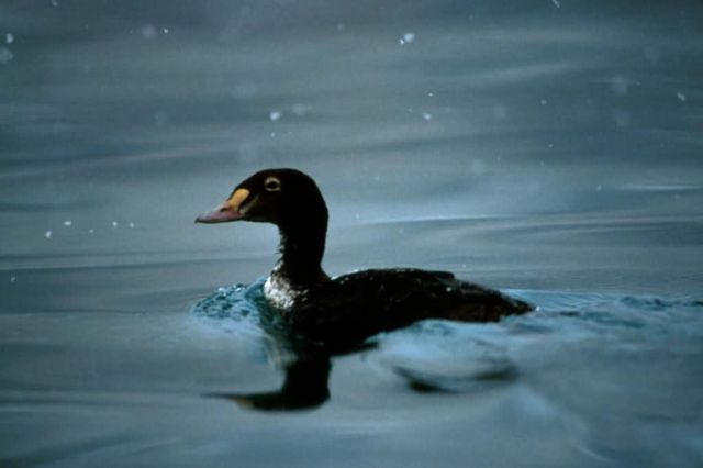 King eider Picture