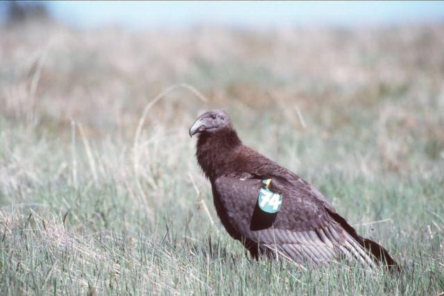 Juvenile Condor Picture