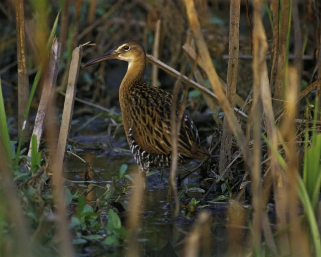 King Rail at Clarence Cannon National Wildlife Refuge Picture