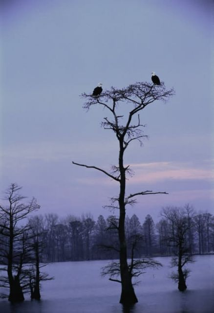 Bald Eagles at Reelfoot National Wildlife Refuge Picture