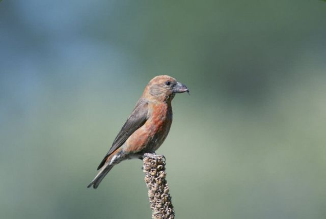 Red Crossbill Picture