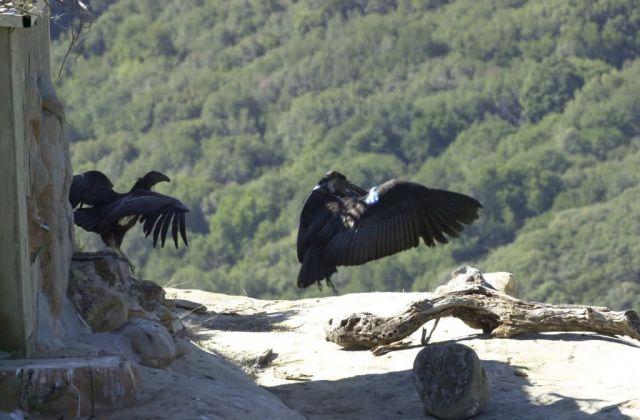 California Condors Picture