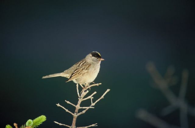 Golden Crowned Sparrow Picture
