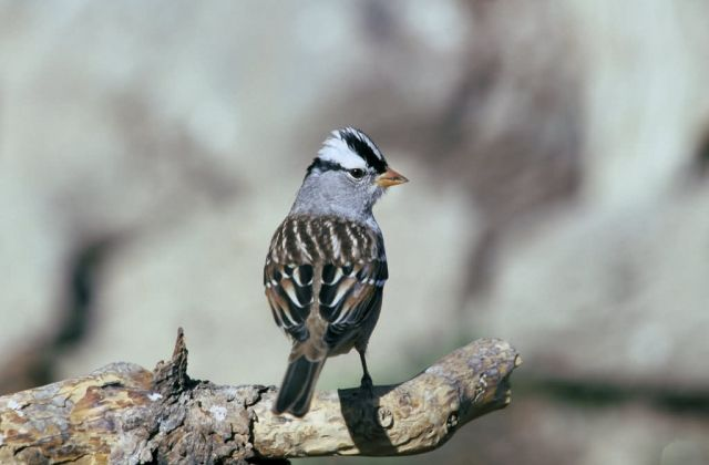 White-crowned sparrow Picture