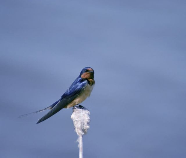 Barn swallow Picture