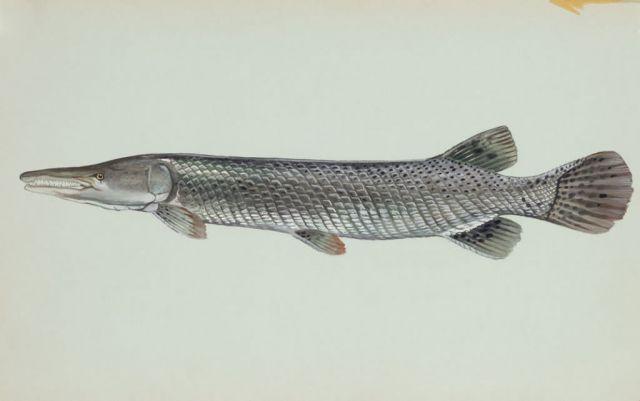 Alligator gar Picture