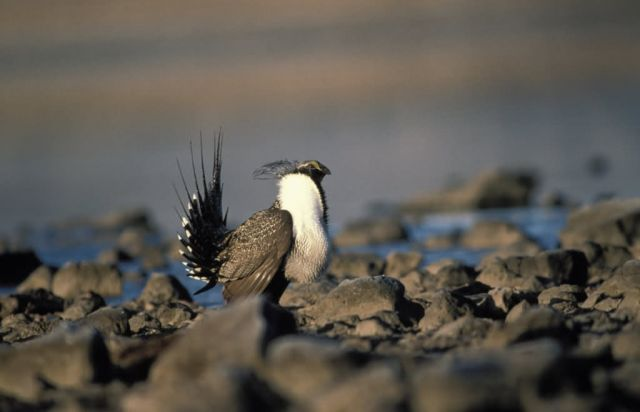 Greater sage grouse Picture