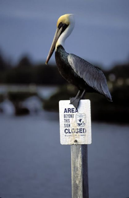 Brown Pelican Perches on Refuge Sign Picture