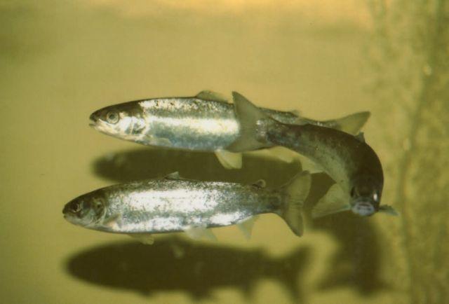 Atlantic Salmon smolts Picture