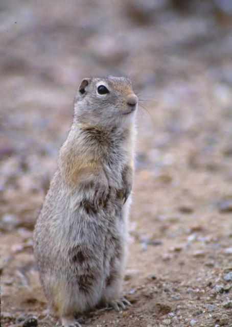 Ground squirrel Picture