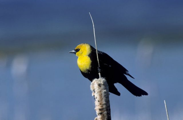 Yellow-Headed Blackbird Picture