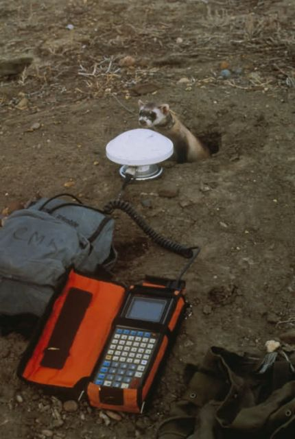 Black-Footed Ferret Investigates GPS Research Equipment Picture