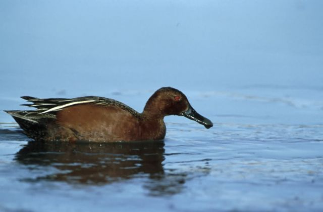 Cinnamon Teal Picture