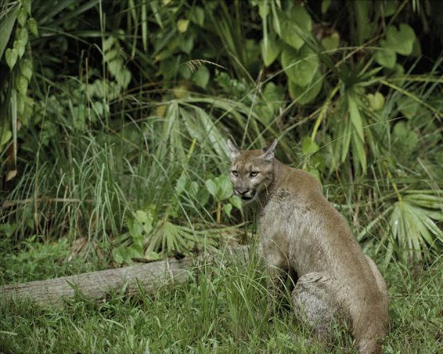 Florida Panther National Wildlife Refuge Picture