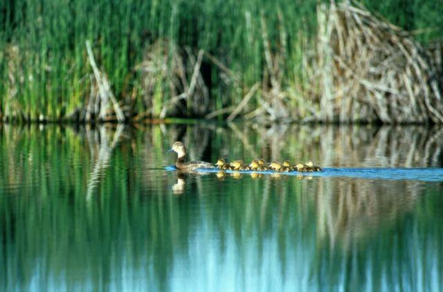 Redhead ducks Picture