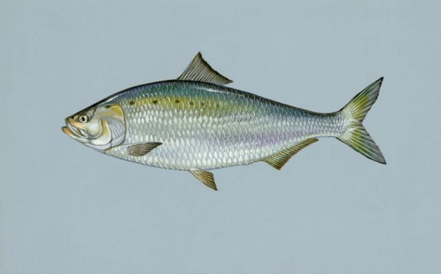 American shad Picture