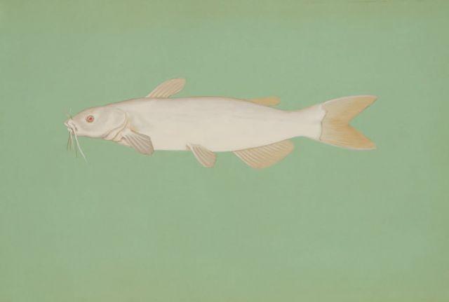 Albino channel catfish Picture