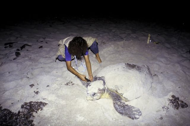 FWS Employee tagging Loggerhead Turtle Picture
