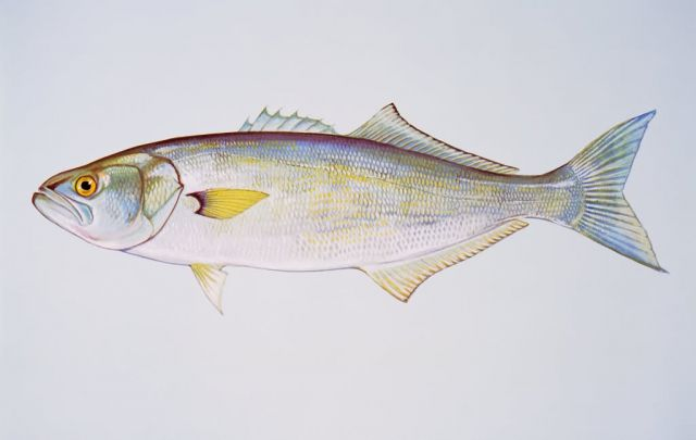 Bluefish Picture