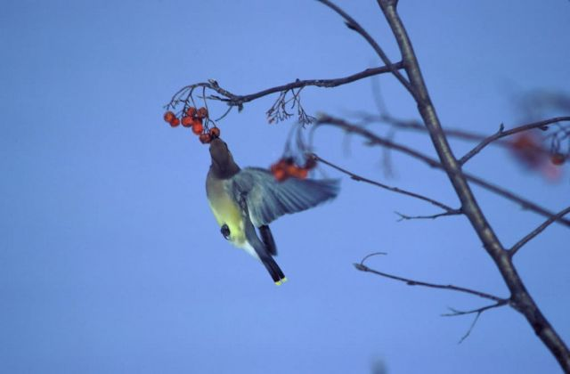 Cedar Waxwing Feeding on Berries Picture