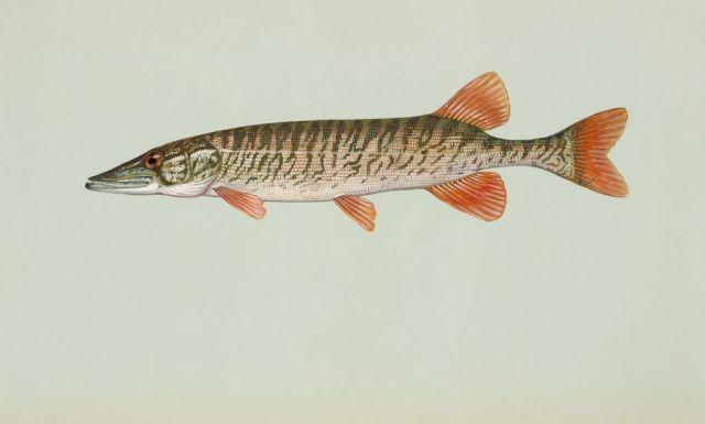 Redfin pickeral Picture