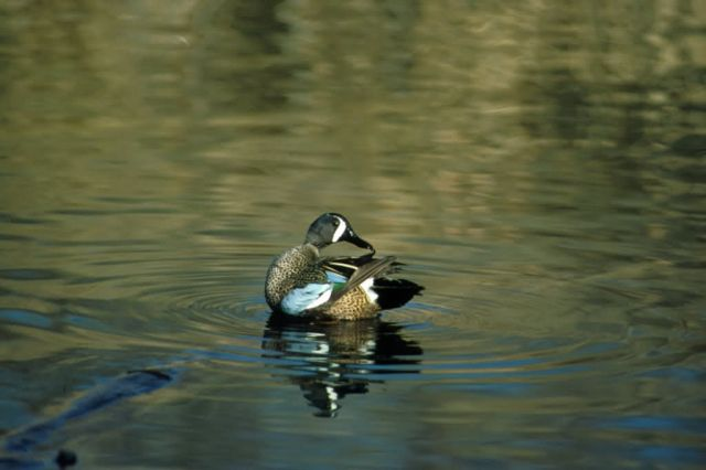 Blue-winged Teal -drake Picture