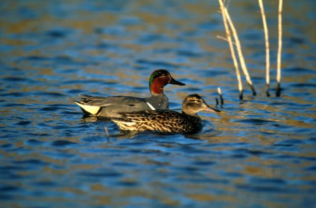 Green-winged teal -pair Picture