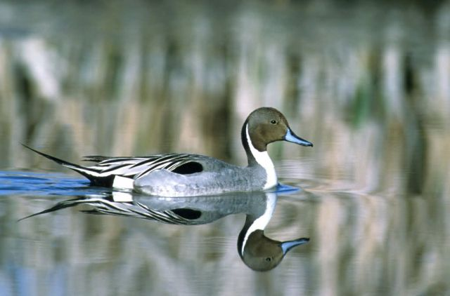 Northern Pintail Picture