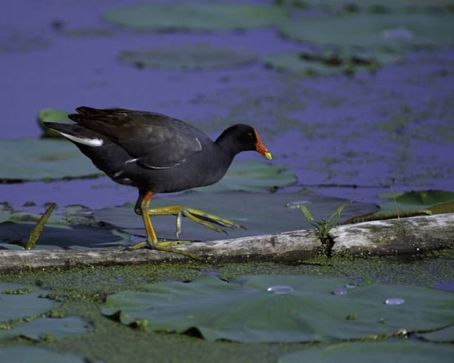 Common Moorhen at Squaw Creek NWR Picture