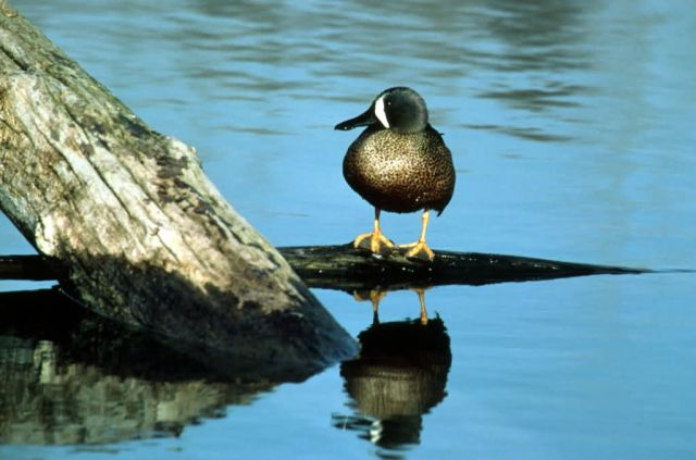 Blue-winged teal - drake Picture