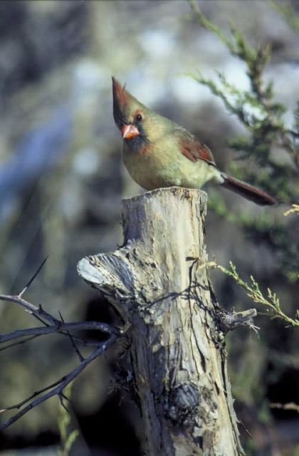 Northern cardinal-female Picture
