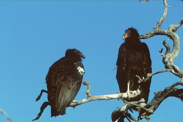 Juvenile Condors Picture