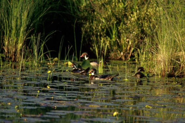 Wood Ducks Picture