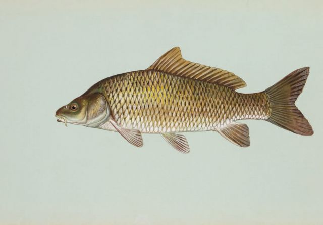 Common carp Picture