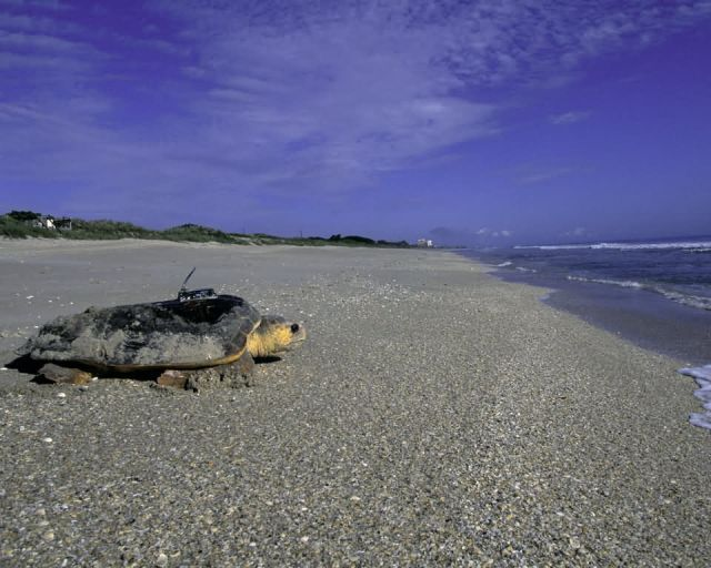 Loggerhead Sea Turtle at Archie Carr National Wildlife Refuge Picture
