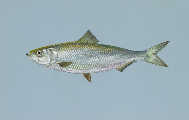 Skipjack herring Picture