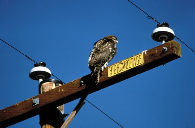 Rough-legged Hawk on Power Lines Picture