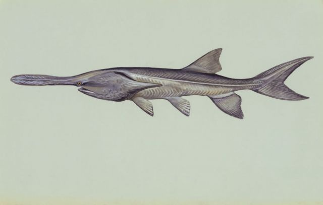 Paddlefish Picture