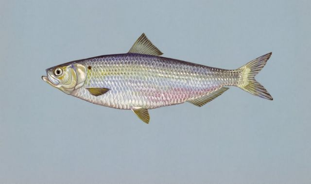 Blueback herring Picture