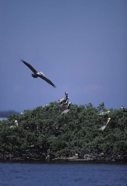 Brown Pelican Flys Over Pelican Island NWR Picture
