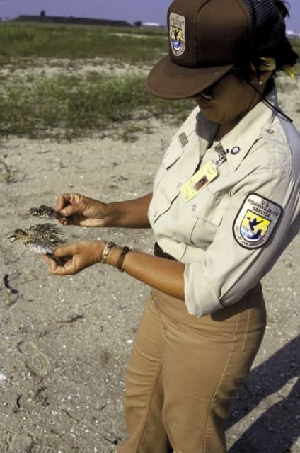 FWS Employee Examines California Least Tern Remains Picture