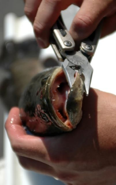 Northern Snakehead Fish Picture