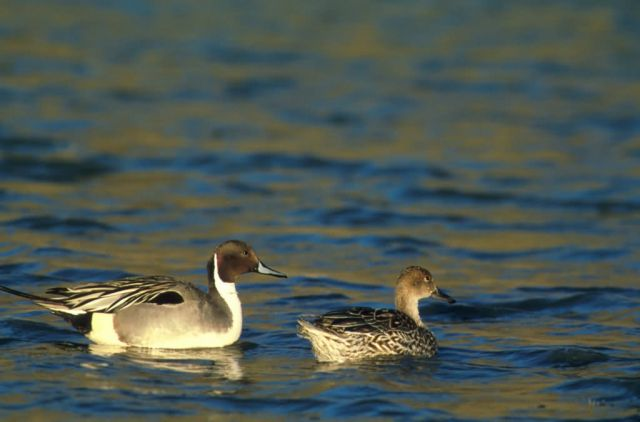 Northern pintail -pair Picture
