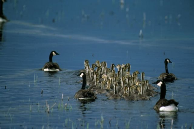 Canada Geese with goslings Picture