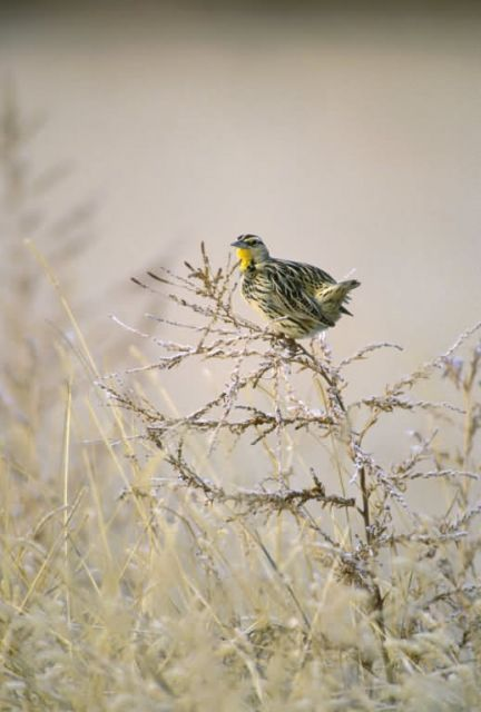 Western Meadowlark Picture