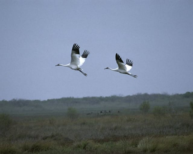 Whooping Cranes at Aransas NWR Picture