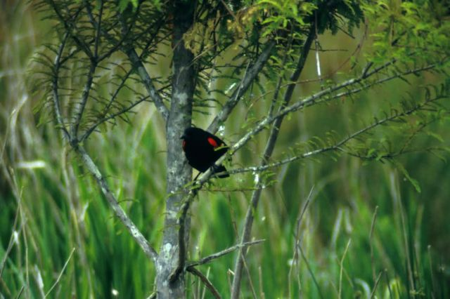 Red-winged Blackbird Picture