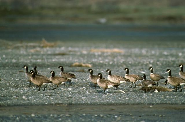 Aleutian Canada Geese Picture