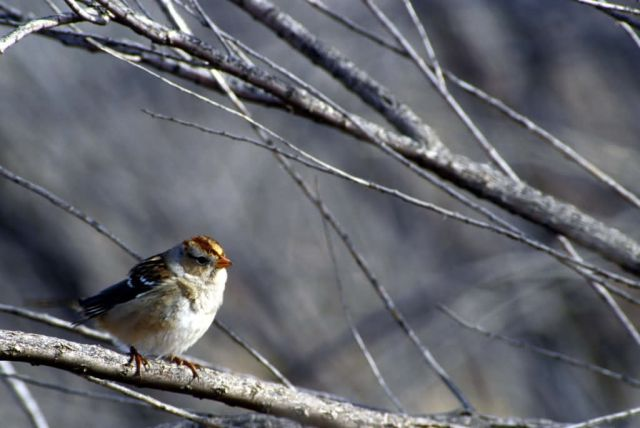 White-crowned sparrow female Picture